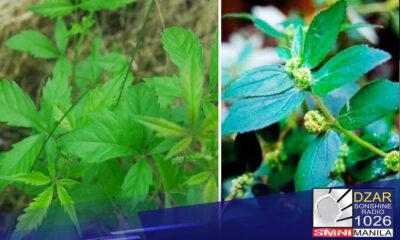 Natapos na ang Up Manila Clinical Trial Team sa pag-aaral nito kaugnay sa tulong ng mga herbal na gamot laban sa COVID-19